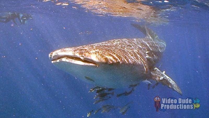 Whale Shark Encounter in Pompano Beach