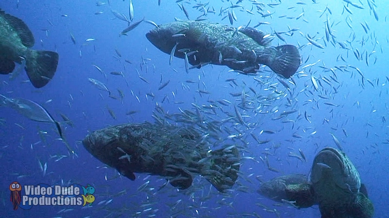 Goliath Grouper Aggregation